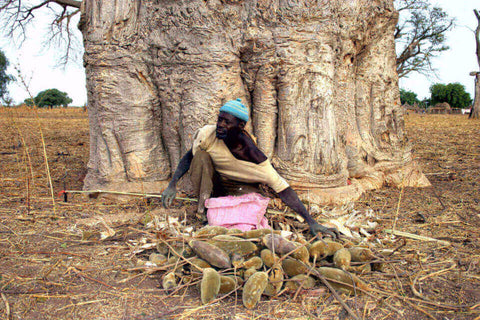man collecting baobab fruit