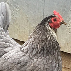 Our pet chicken, Silver, showing her old age with the white feathers on her face!