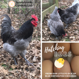 Blue Orpington Chicken Hatching Egg