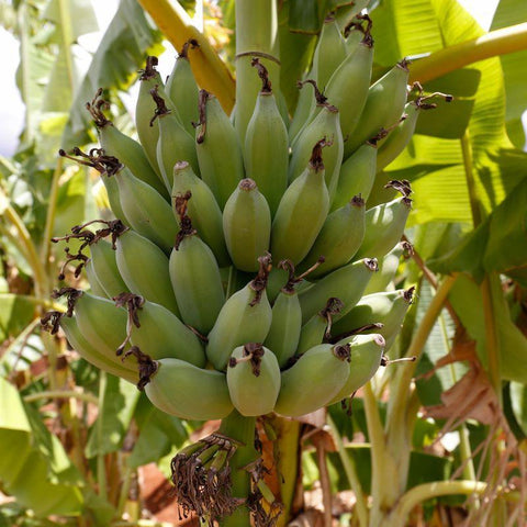 A CAFOD World Gift of Trees for Life provides families living in poverty with trees, so they can grow fruit like these bananas.