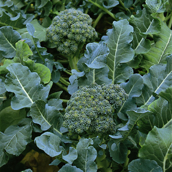 Broccoli, Calabrese 'Green Sprouting'