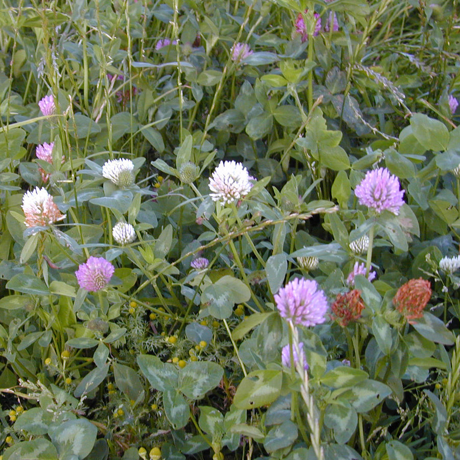 Green Manure 'Clover Mix'