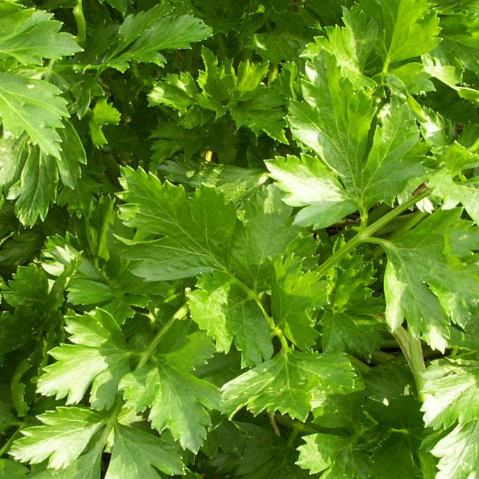 Parsley, Flat Leaf 'Italian Giant'
