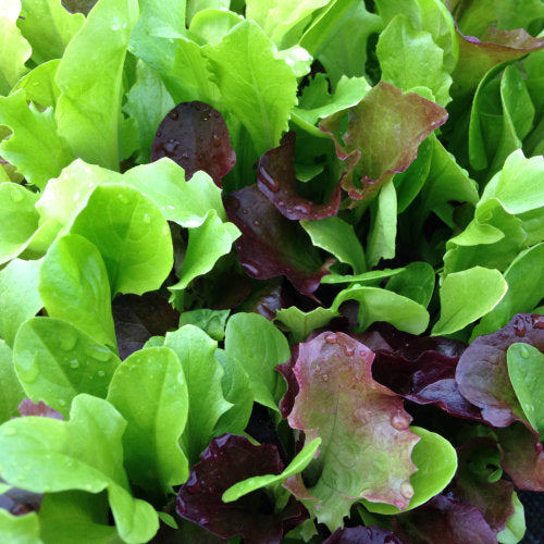 Salad Mix, 'Colourful and Mild'