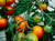 Introduction to Growing Tomatoes with Michael Kelly (Various Dates)