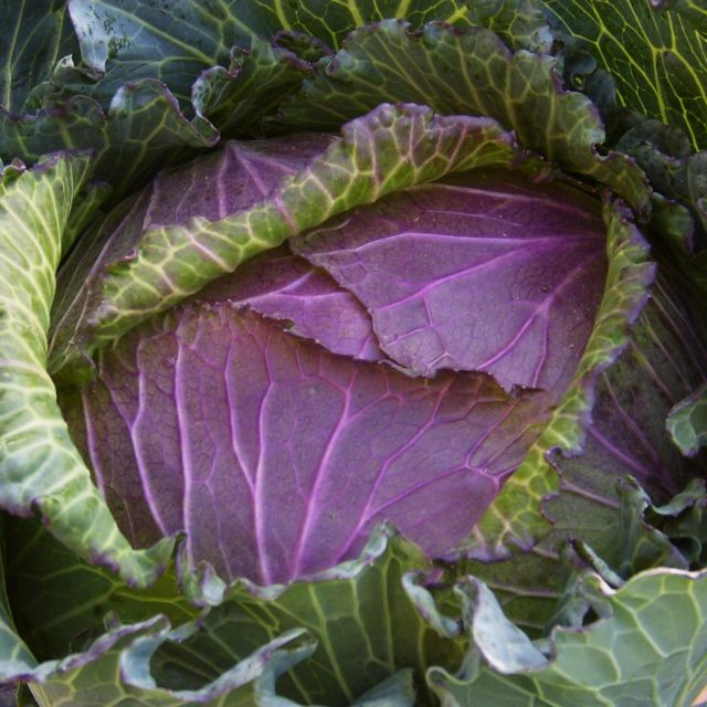 Cabbage, Winter 'January King Late No.3'
