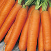 Carrot 'Early Nantes'