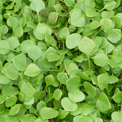 Claytonia 'Winter Purslane'