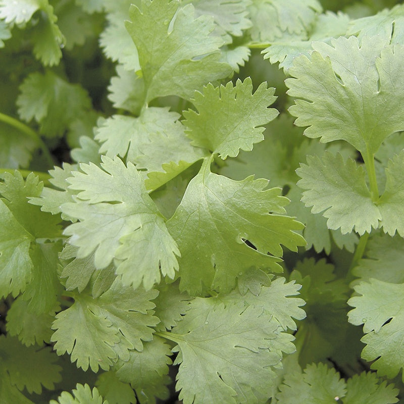 Coriander 'Leisure'