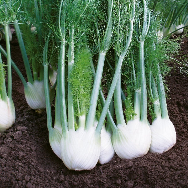 Fennel Florence 'Rondo F1'