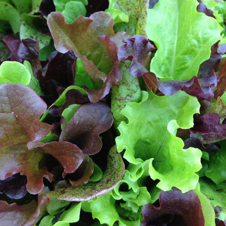 Lettuce 'Surprise Mix'