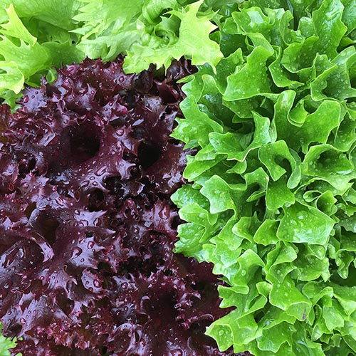 Lettuce, Batavia Red Green Mix