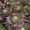 Lettuce, Butterhead 'Marvel of 4 Seasons'