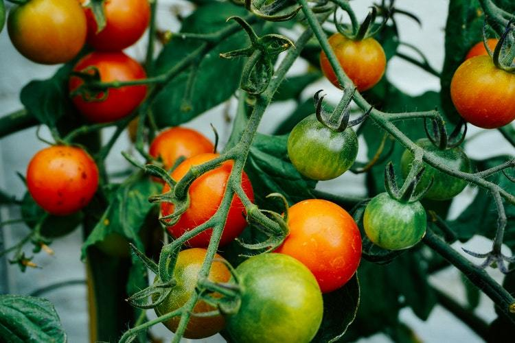 Introduction to Growing Tomatoes
