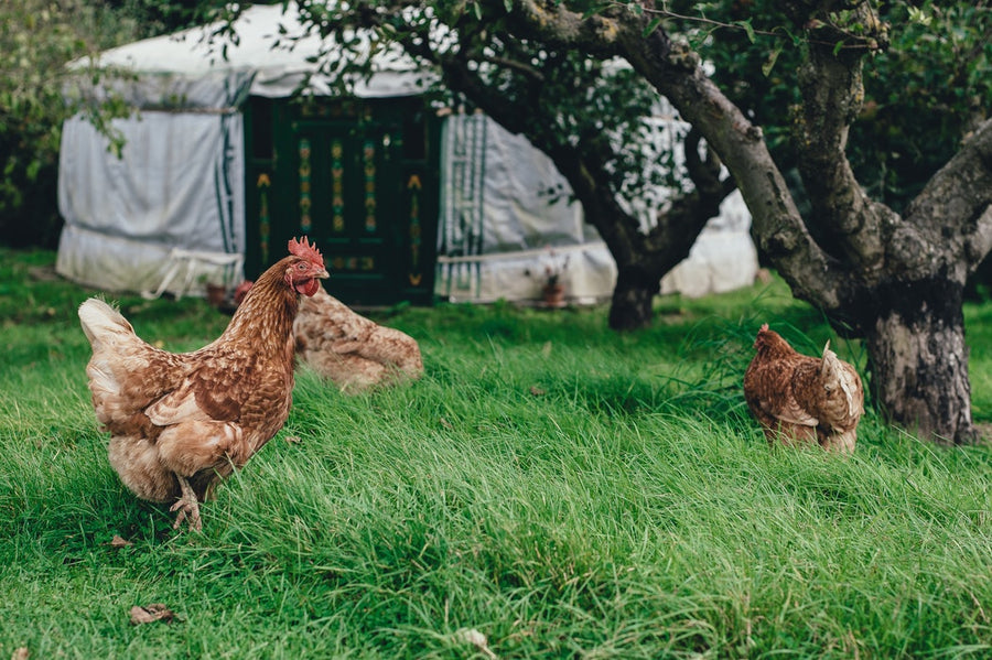 Keeping Hens Course with Michael Kelly (June 22nd 9:30am - 12:30pm)