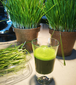 Freshly Juiced Wheat Grass