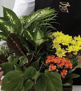 The FTD Florist Designed Blooming and Green Plants in a Basket
