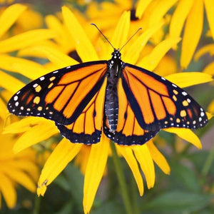 Monarch Butterfly - Garden Path Homemade Soap - Canada