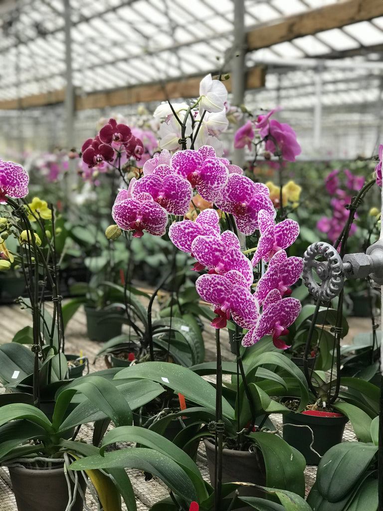 The Spring Orchid Show at Hausermann's