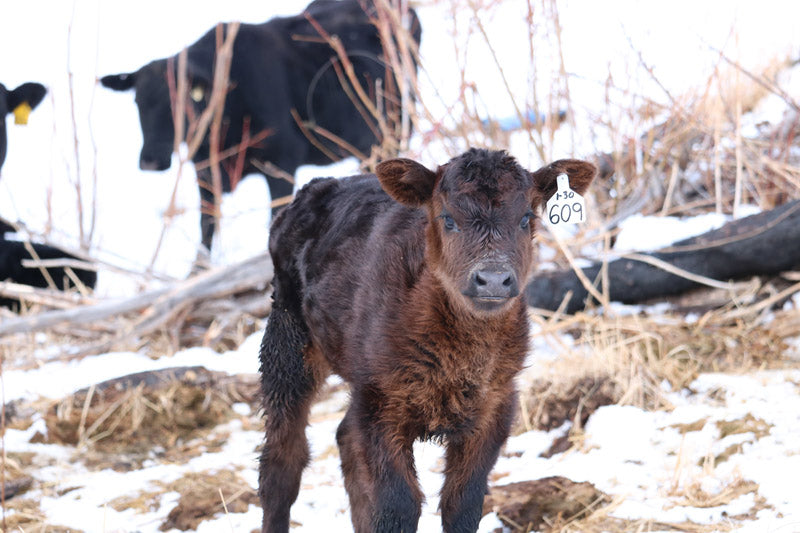Newborn Calves on the Ranch