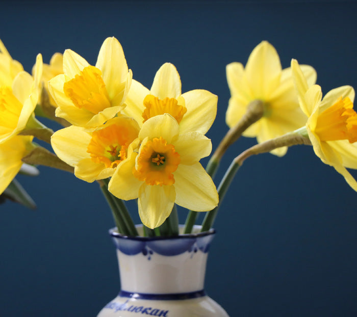 Daffodils are Blooming Indoors