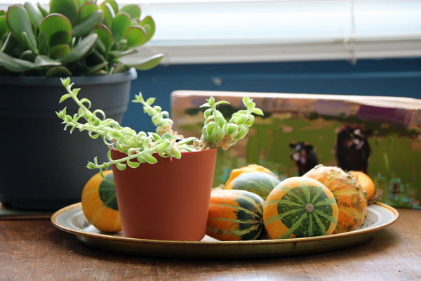 Fall Gourds and Succulents