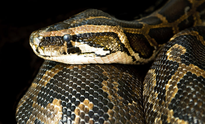 Caring for Your Pet Boa Constrictor