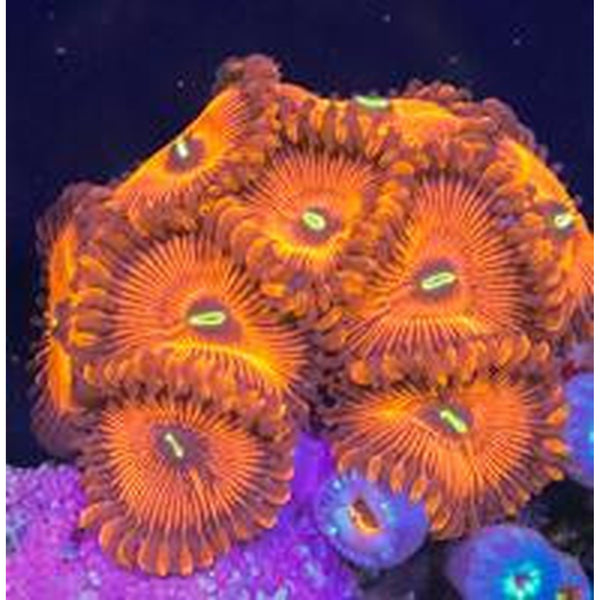 Electric Red People Eaters Zoa Frag