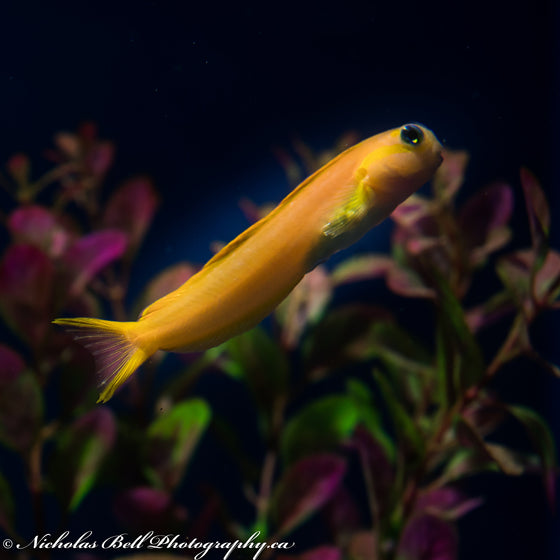 Yellow Midas Blenny