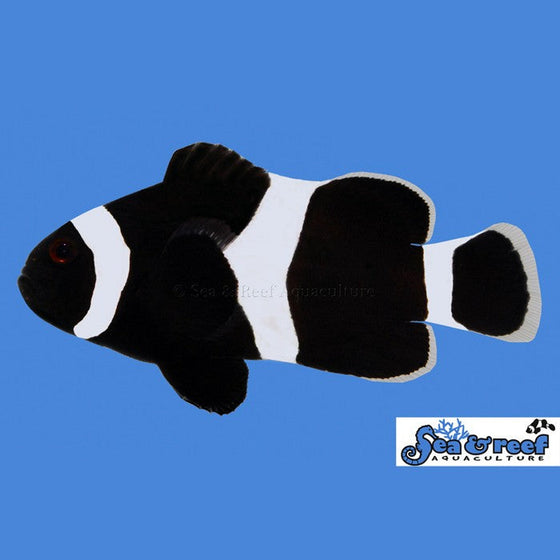 Darwin/Black Clownfish