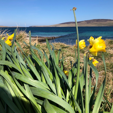 Daffodils on the isle of Orkney