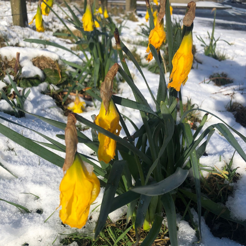 Wilted daffodils in the snow