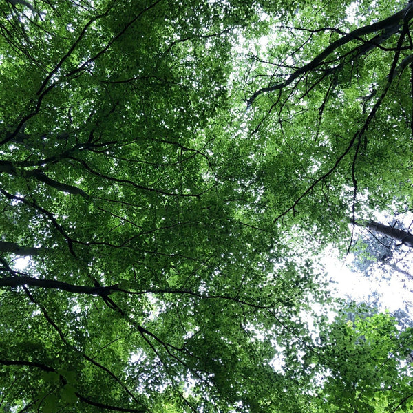 A look up at the sky through the tops of the trees.
