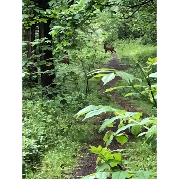 A deer spotted in the woods.