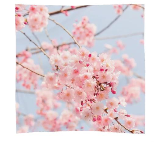 Pink Japan Cherry Blossom
