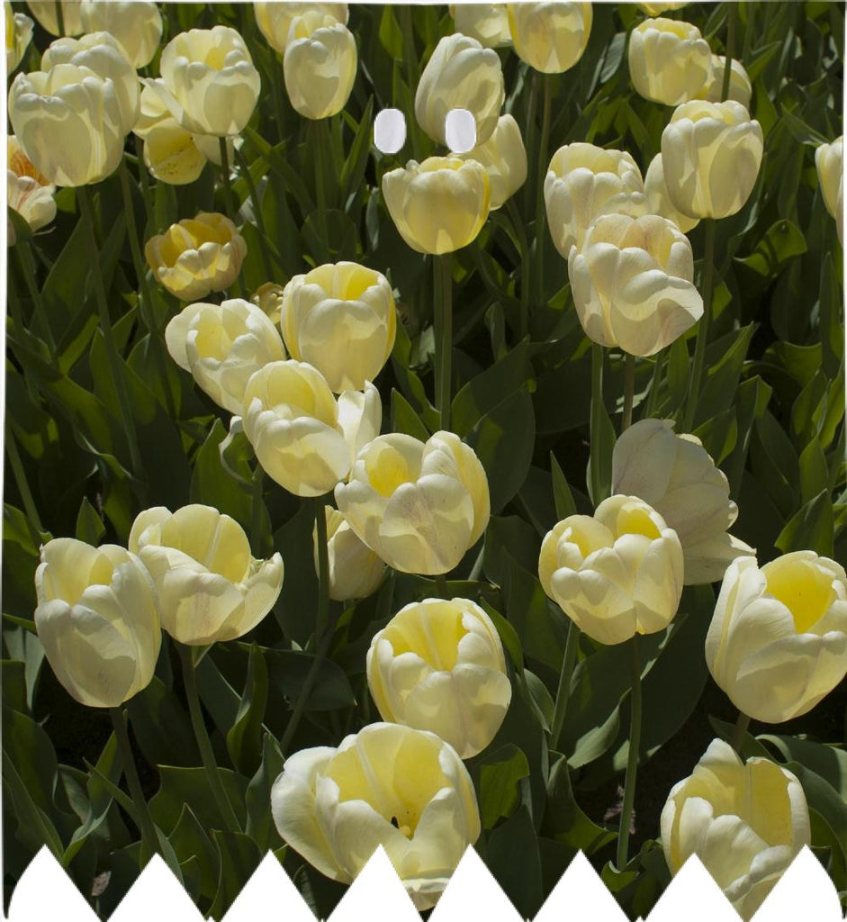 Boston Gardens White Tulips