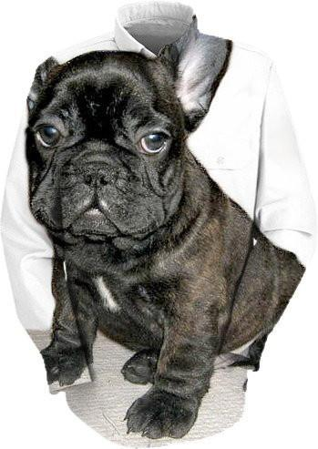 French Bulldog puppy dog