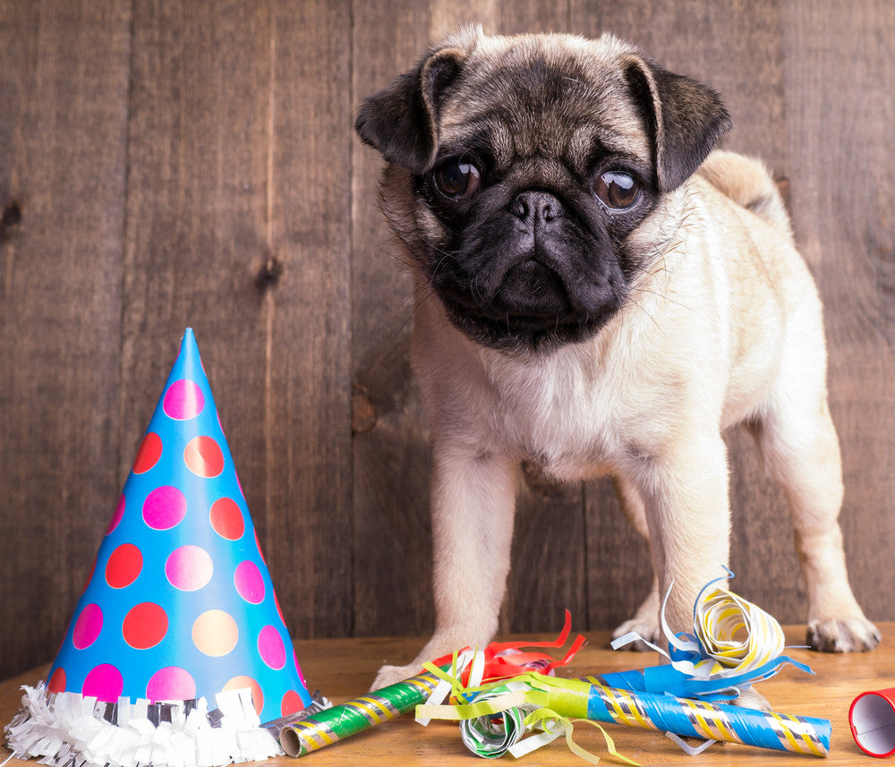 12 Great Ways to Celebrate your Pug's Birthday