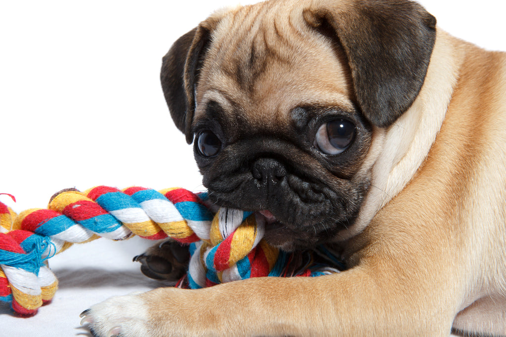 Are pugs good for condo or apartment living?