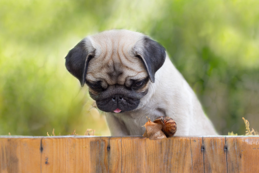 6 Signs Pugs Can Cure Any Bad Day