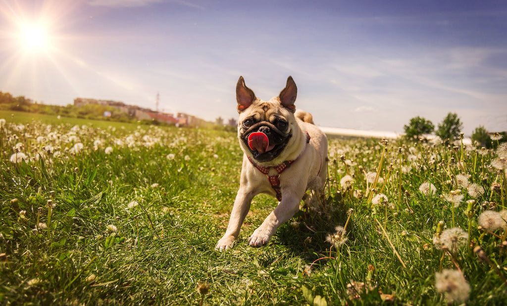 6 Activities To Do With Your Pug