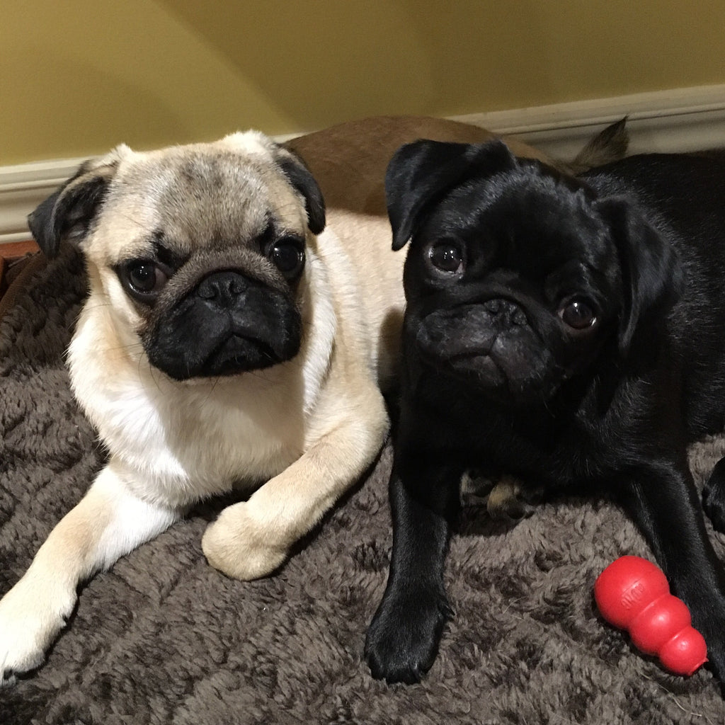 Pug Interview: Pancake and Pepper