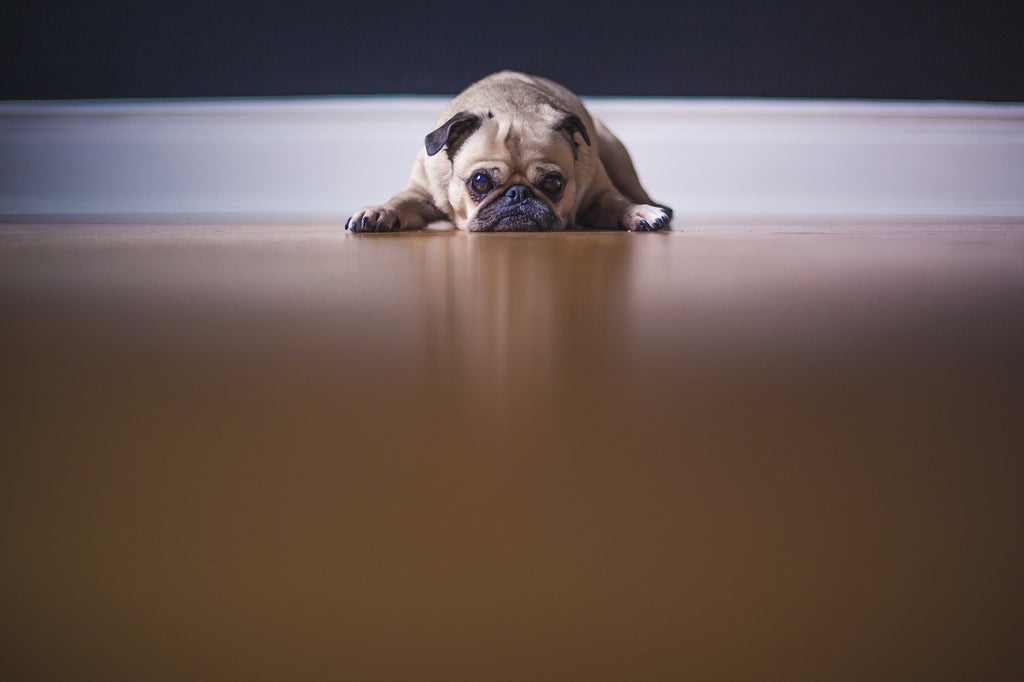 15 Tips for Dealing with Your Pug's Separation Anxiety