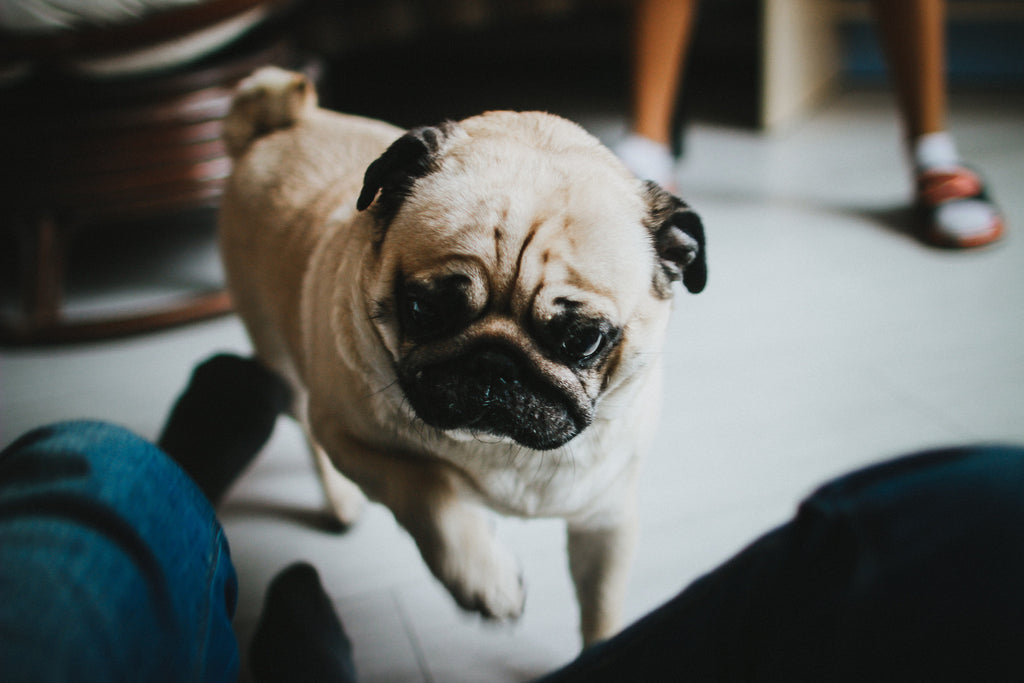 Pug Wrinkles and How to Clean Them