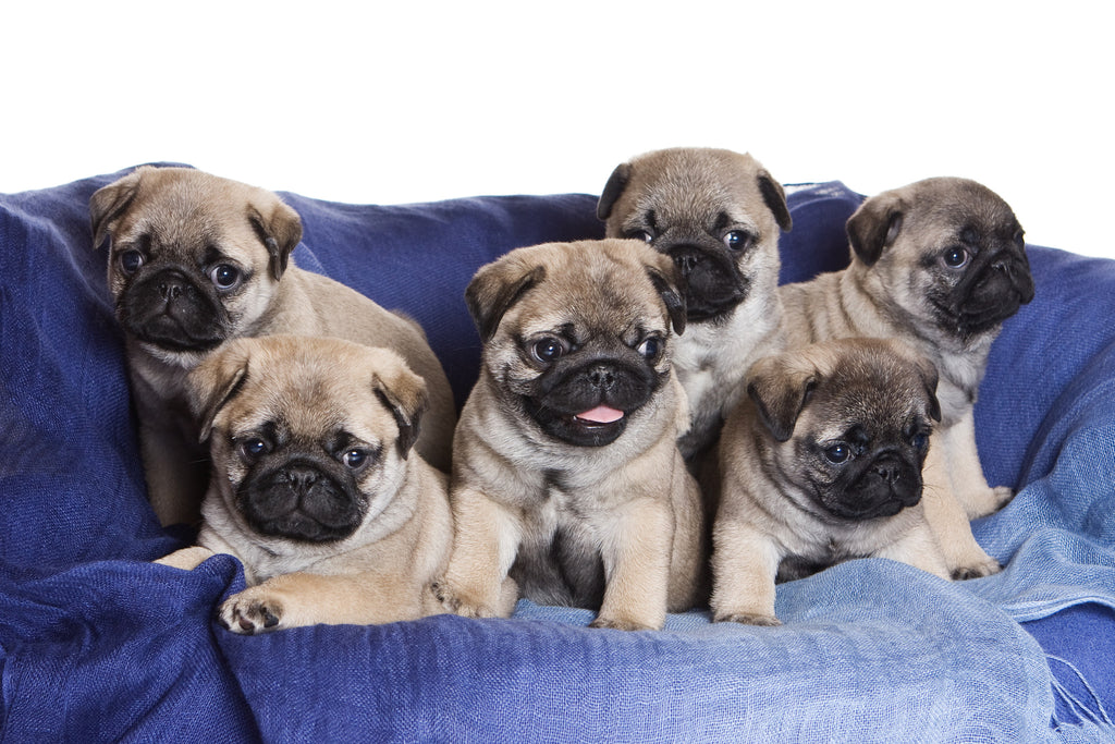 12 Signs You're Addicted to Pugs