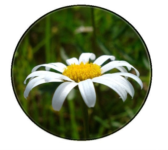 Chamomile (roman) essential oil