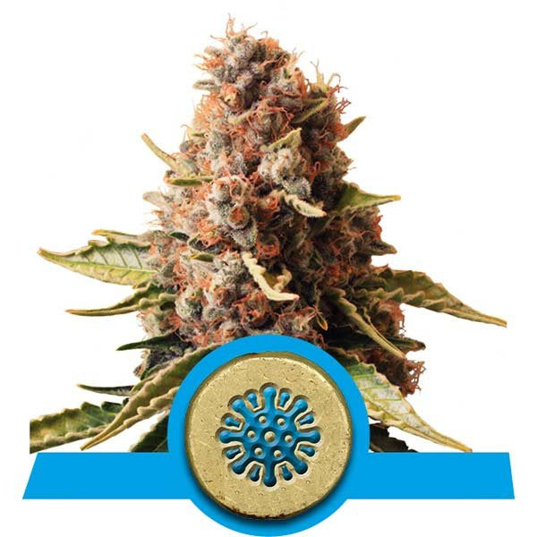 Euphoria - Royal Queen Seeds