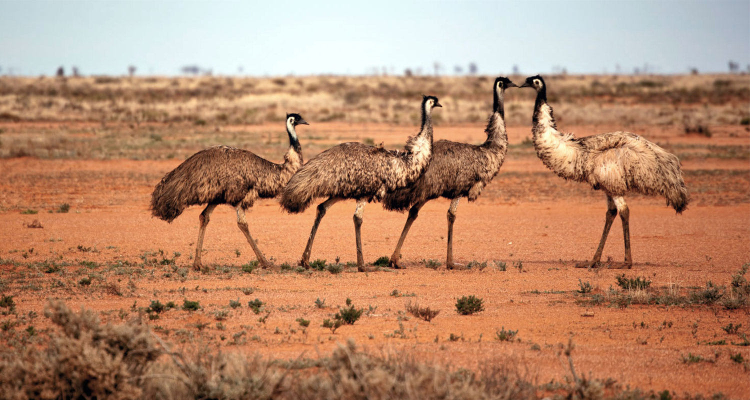 Spotting Emu's in the wild on our way from Silverton to Mungo national Park