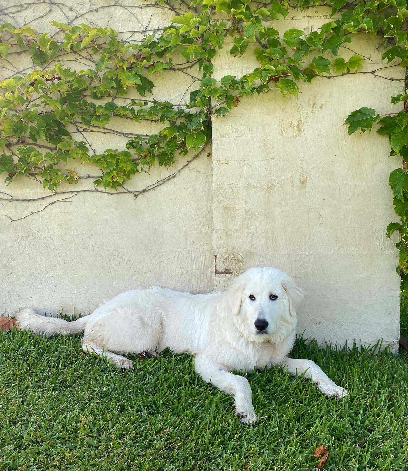 Polare the dog at Krinklewood Estate Hunter Valley NSW