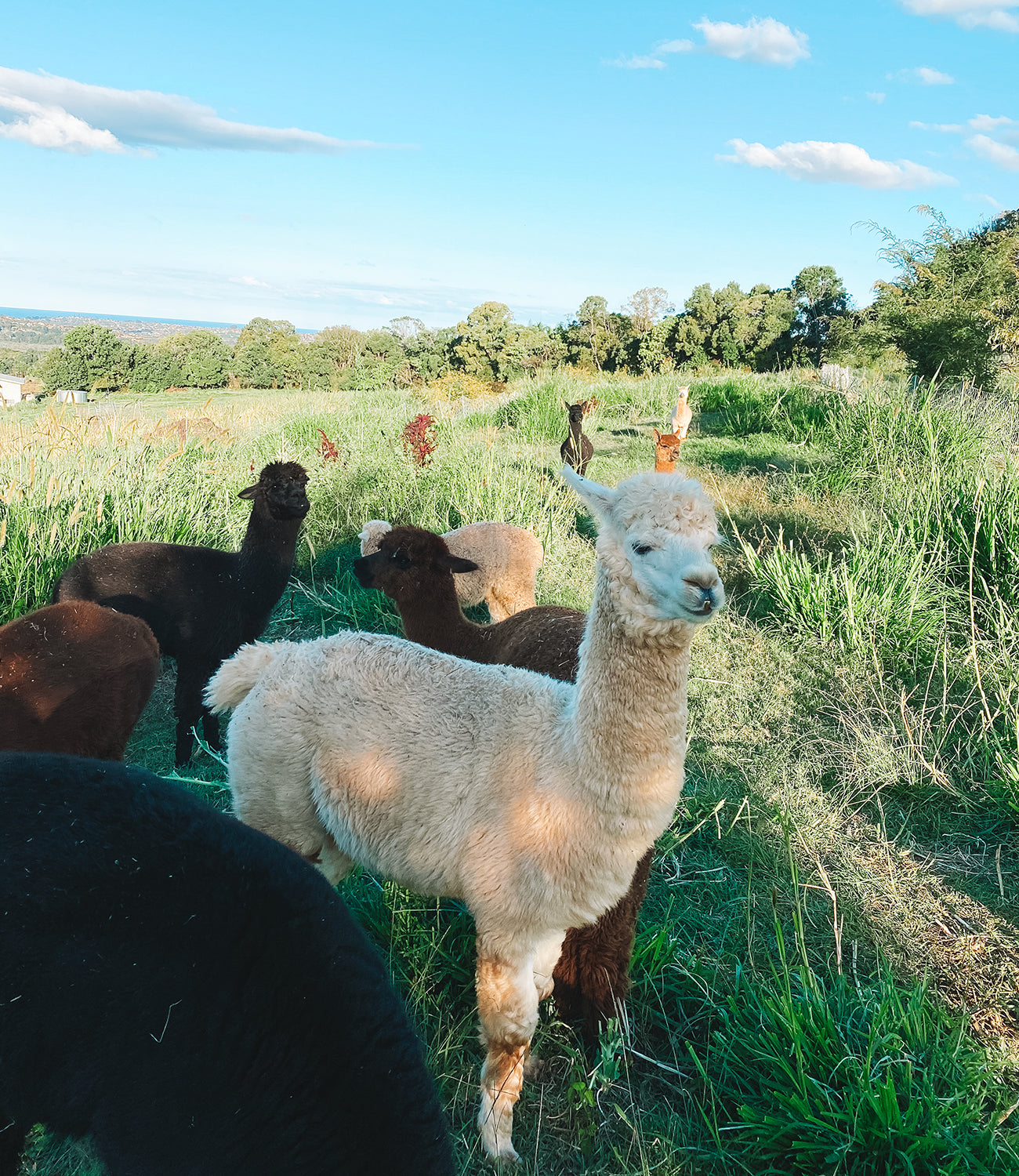 Llamas rotate around the farm and provide manure to fertilise soil at Ellas Permaculture Farm